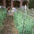 rc2015-tranplanting-sweet-potatoes