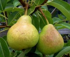 pear-fruit1