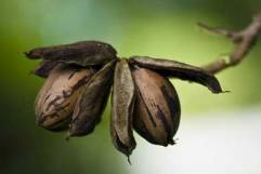 pecan-nuts-on-tree